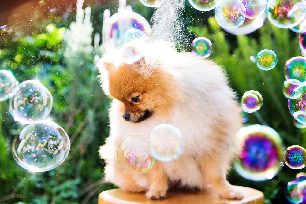 Pet photography in Cape Town. Soco the pomeranian watching bubbles