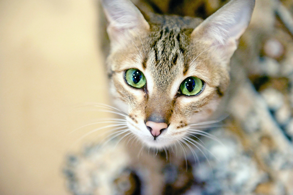 Cat phtography in Oxford - Yrael the cat with beautiful green eyes