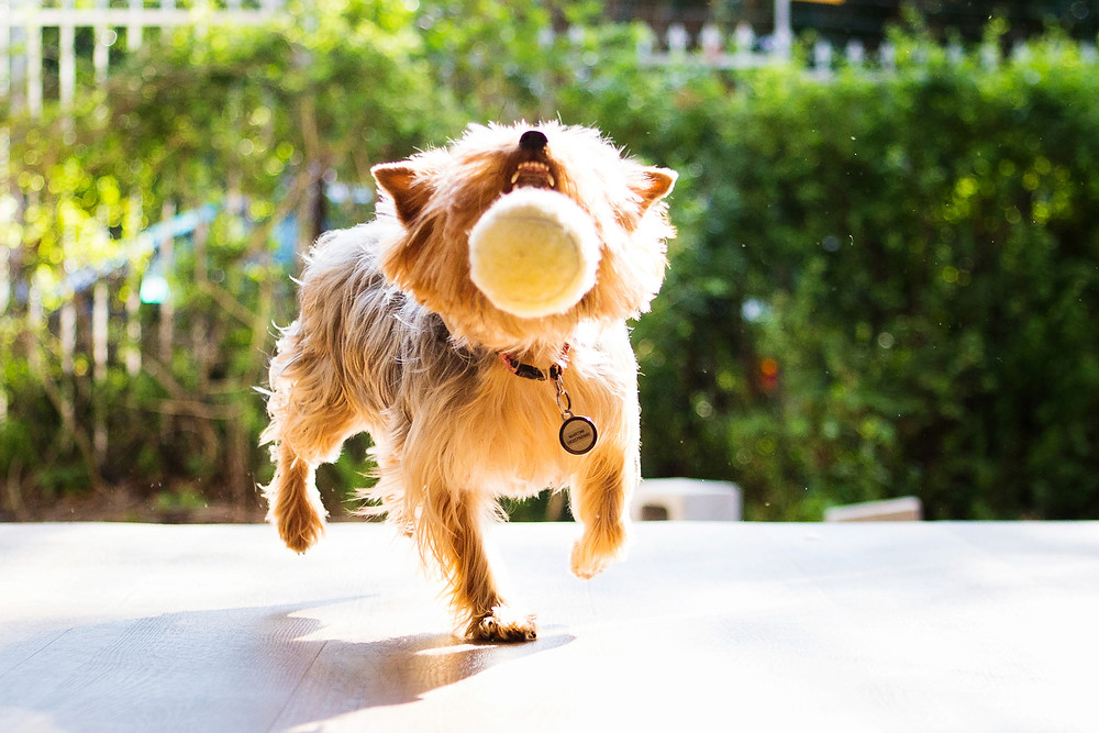 Pet photography in Cape Town. Tini the teacup yorkie playing with a ball