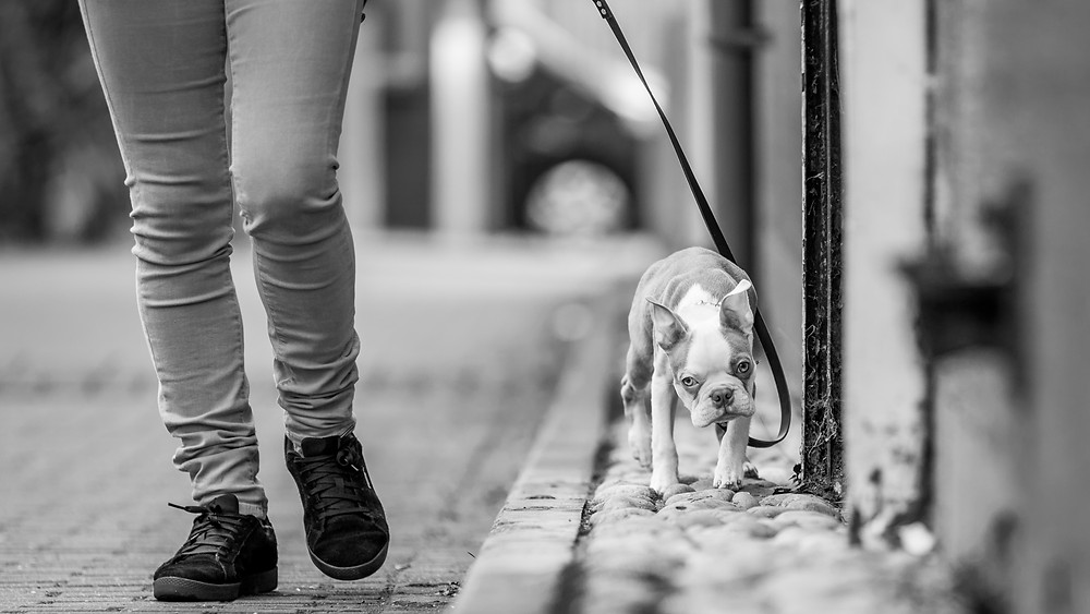 Dog photography in London. Sharky the Boston Terrier out walking with Gaby