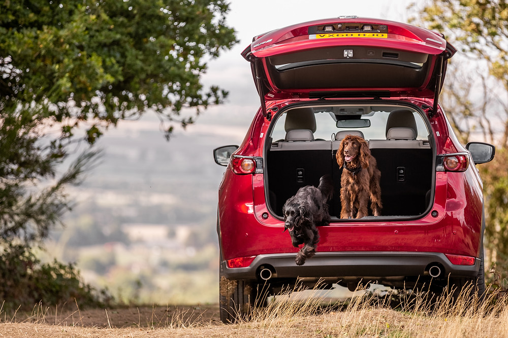 Dog photography in London.  Severus and Lily on Coombe Hill, Ciltern in the boot of a Mazda CX-5. #dogsinboots