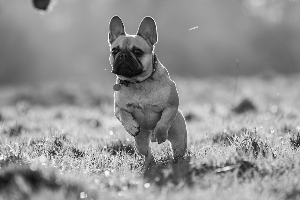 Dog photography in London. Bear the French Bulldog jumping in Richmond Park
