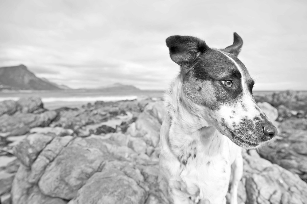 Rescue Dog photography in Cape Town. TEARS animal charity Calendar.