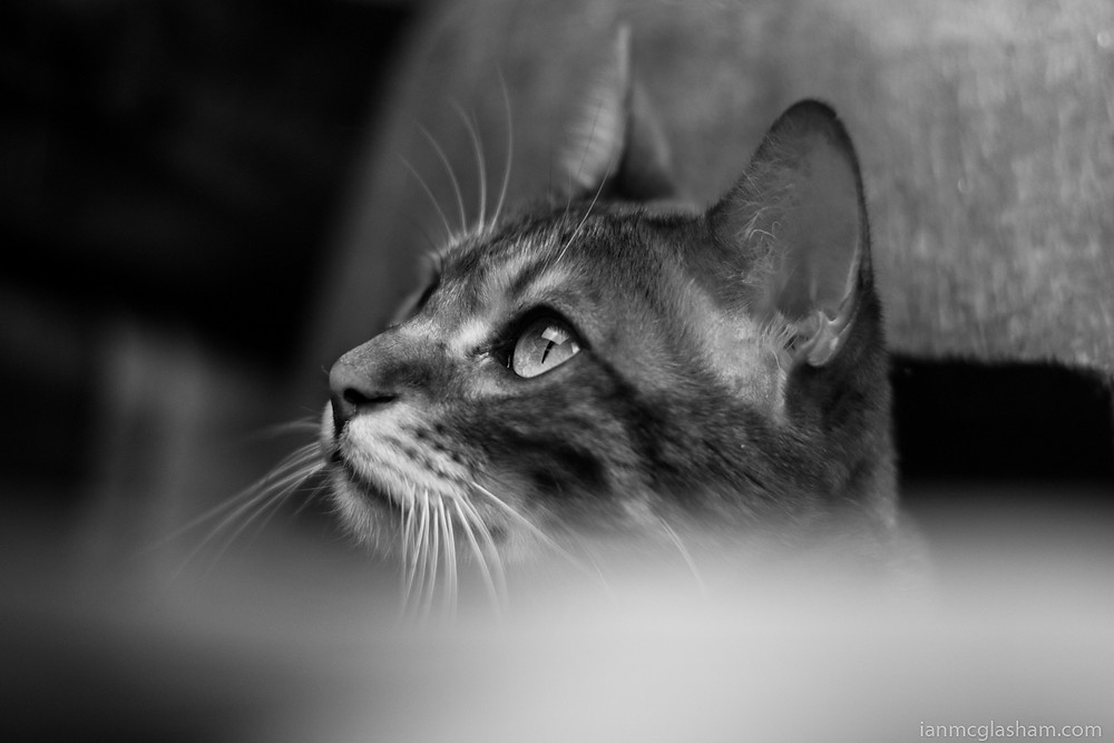 Cat photography in London. Conan the Bengal cat in black and white.