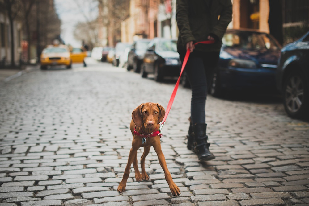 Dog photography in New York. A Red Wiemeraner in NYC.