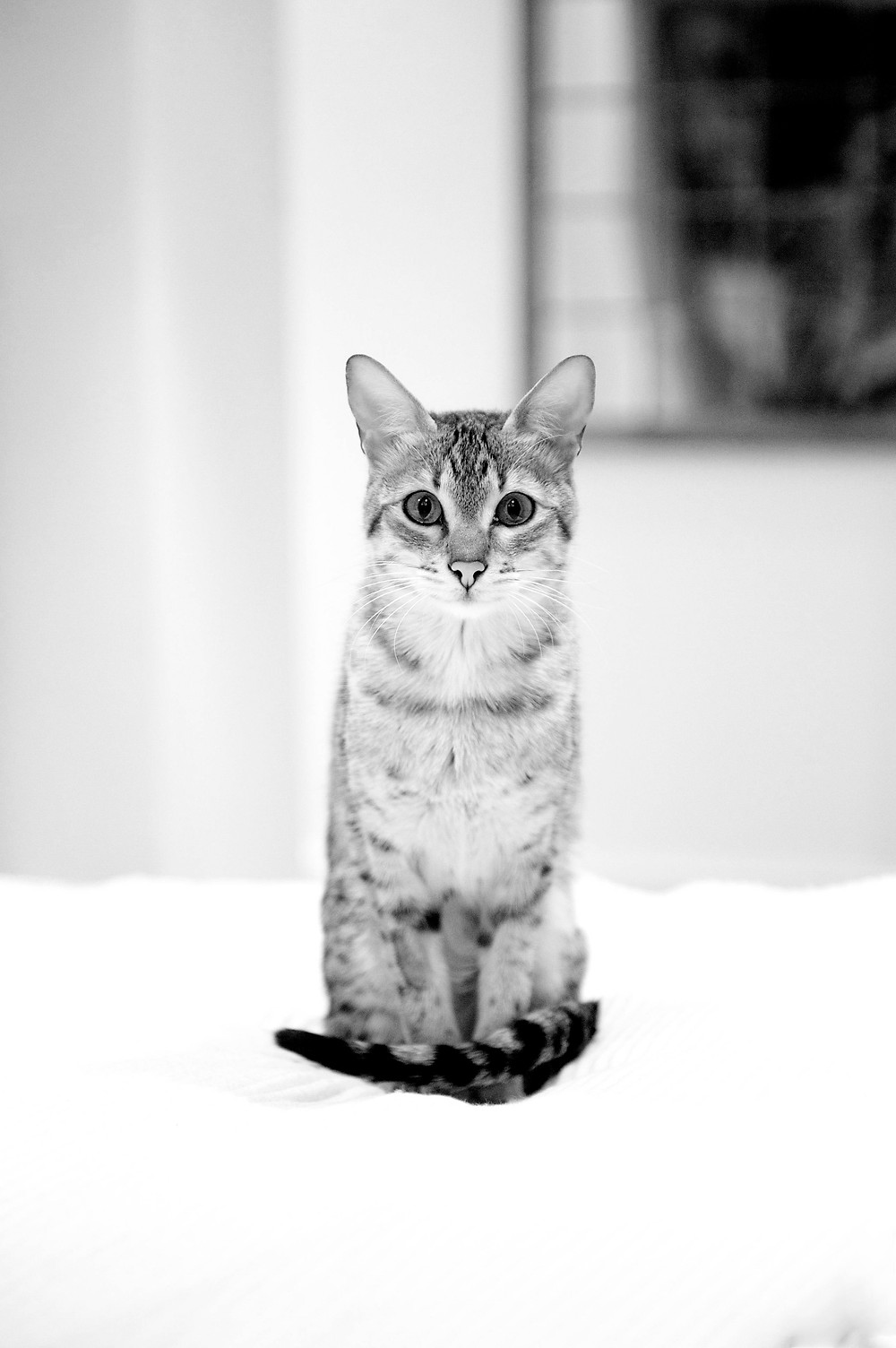 Cat photography in Oxford - Yrael the cat in stunning black and white