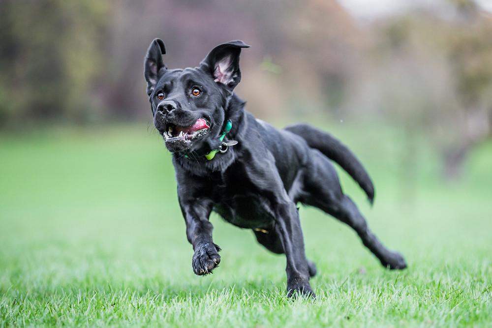 Dog photography in London. Logi the labrador running