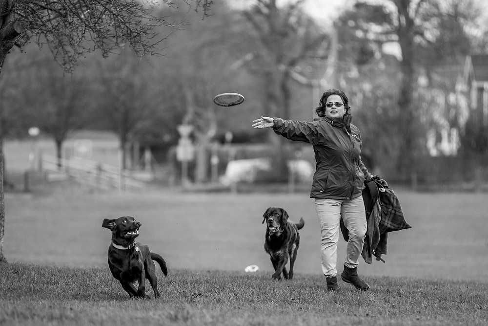 Dog photography in London. Logi and Nero the labradors playing with a frisbee