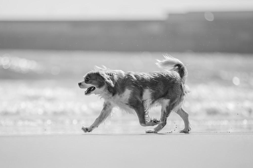 Dog photography in London. King Charles Spaniel, Tiffany walking along the shoreline