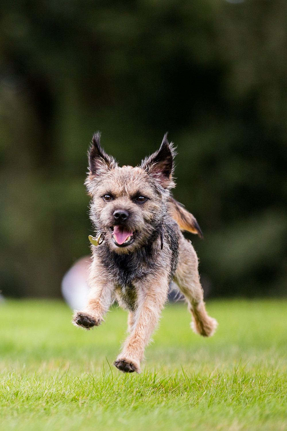 Dog photography in London. Monty the border terrier running on Hampstead Heath