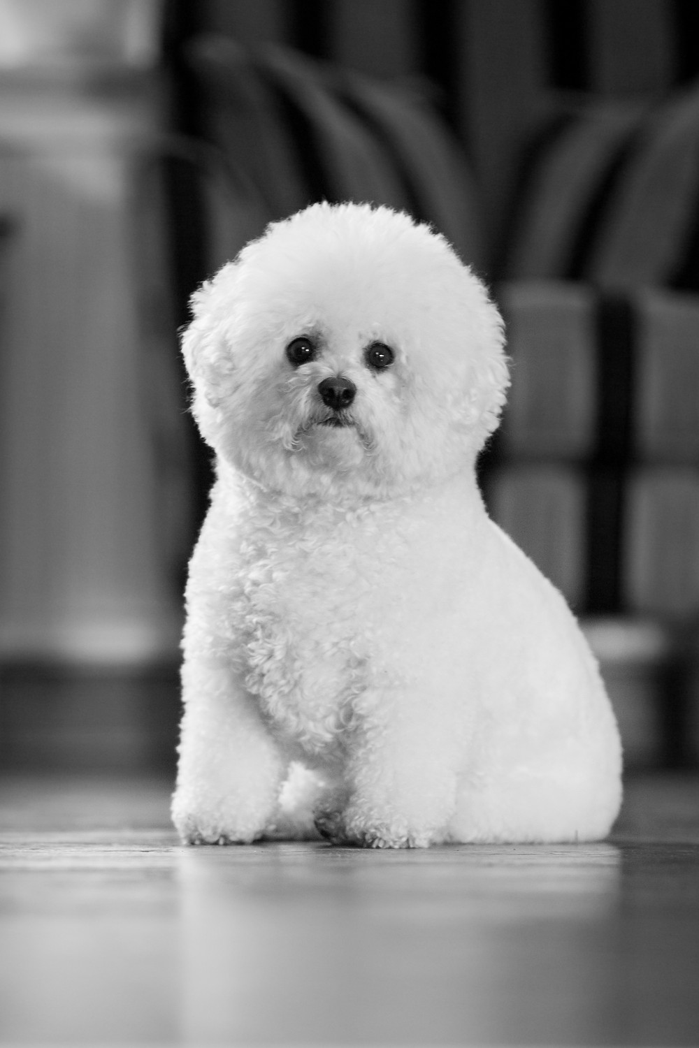 Dog photography in London. Bichon Frise rescue dogs