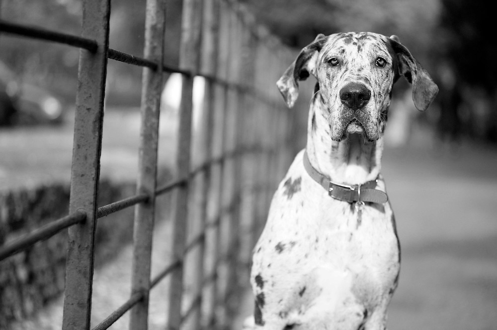 Dog photography in Oxford. Elsa the Great Dane