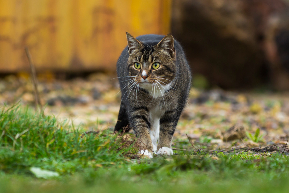 Pet photography London. One of the feral cats hunting at the Wood Green Animal Sanctuary.