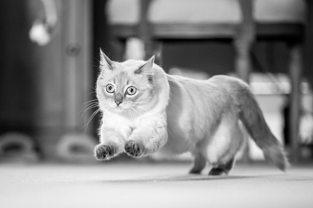 Cat photography in London. Siamese cat jumping