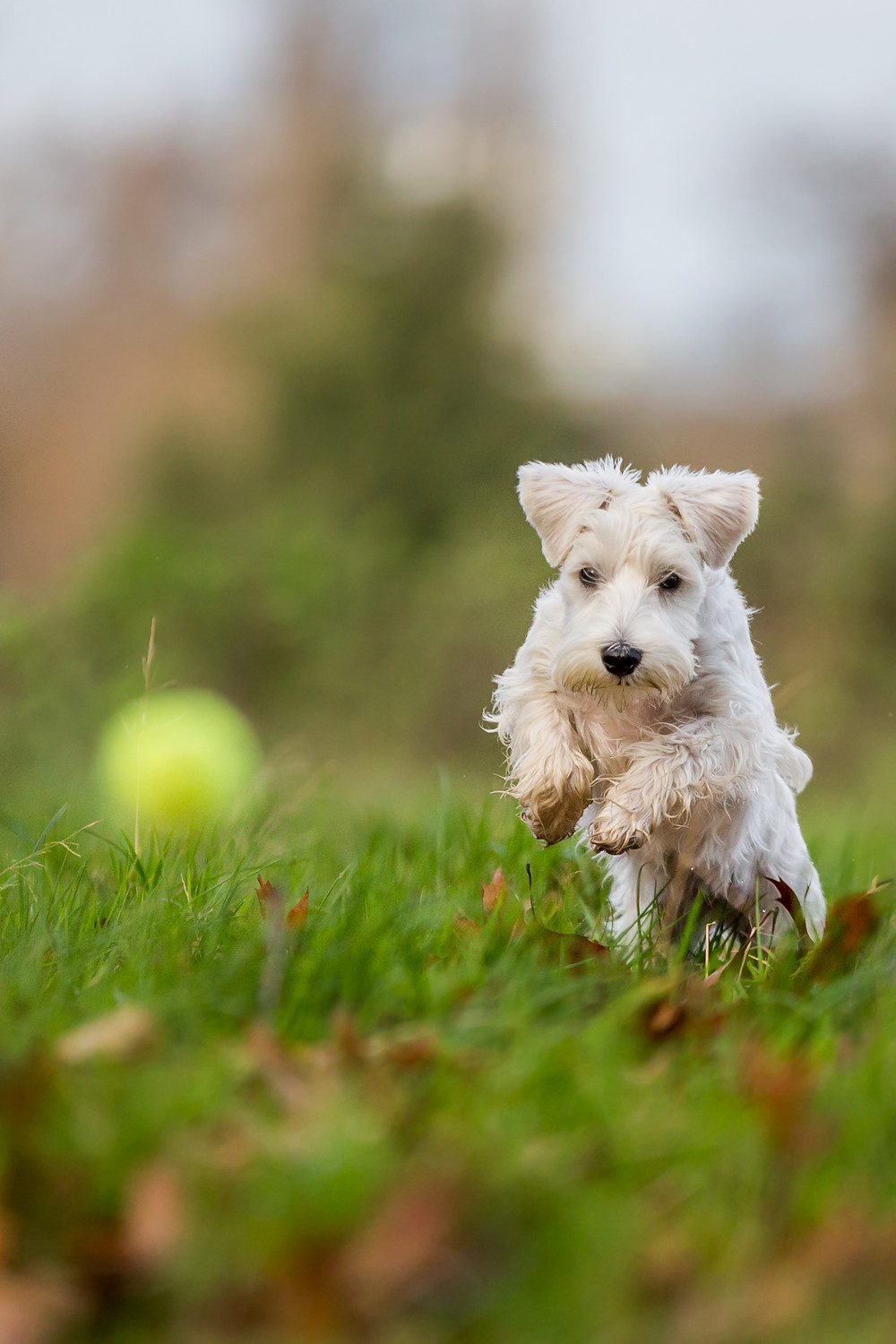 Dog photography in London. Charley the Miniature Schnauzer chasing a ball