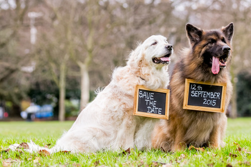 Chewbacca and Wicket - Golden Retriever and Long Haired German Shepherd