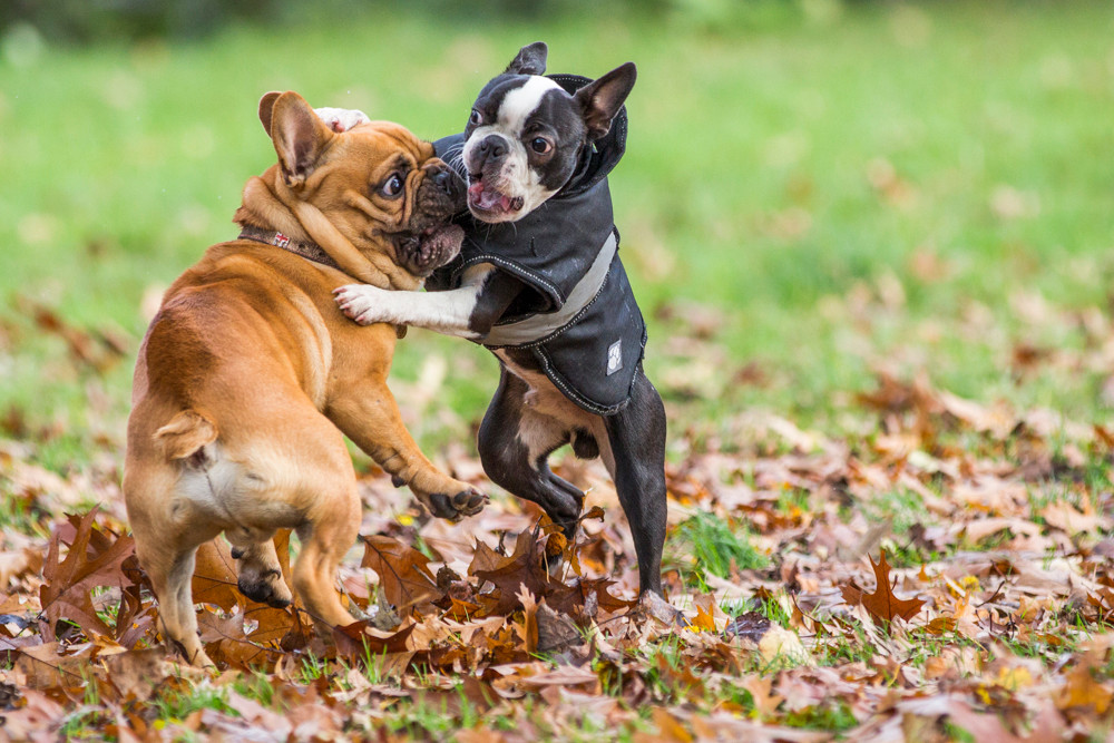 London Dog Photography. Elvis the Boston Terrier playing with a French Bulldog on Wandsworth common, London