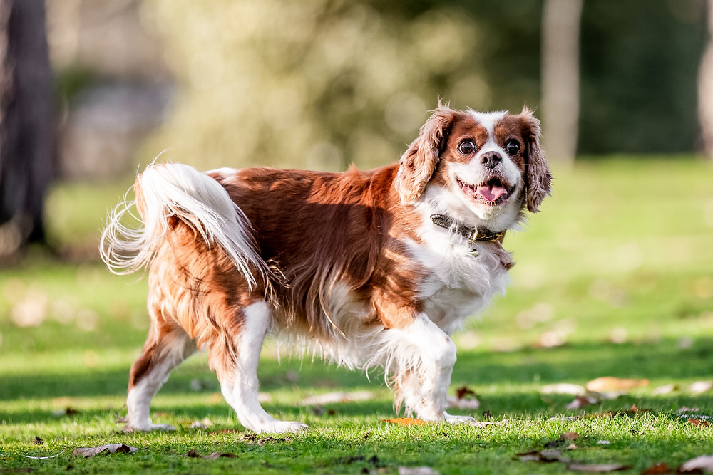 Dog Photography in London, Tiffany the King Charles Spaniel playing in West Ham Park