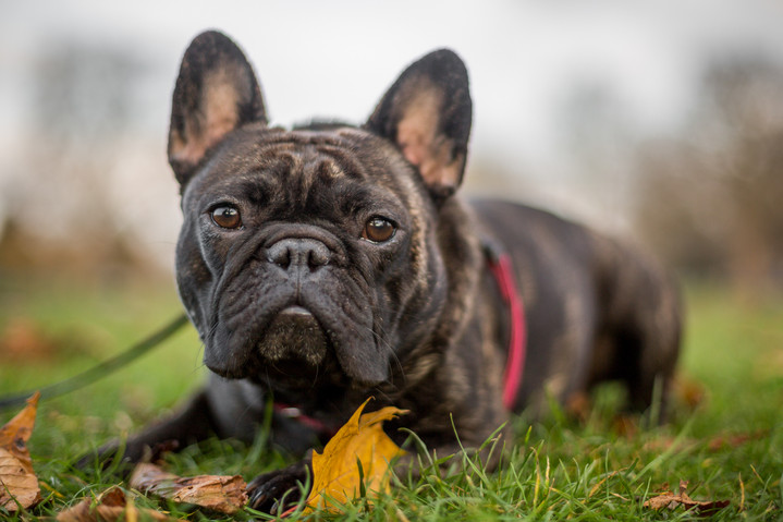 Winston - French Bulldog - London