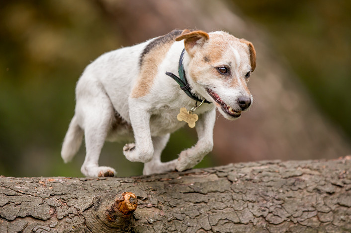 Bertie - Jack Russell Terrier - London