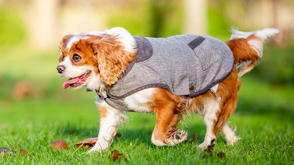 Dog Photography in London, Tiffany the King Charles Spaniel dressed for winter