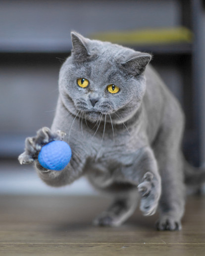 Dusty - British Blue Cat - London