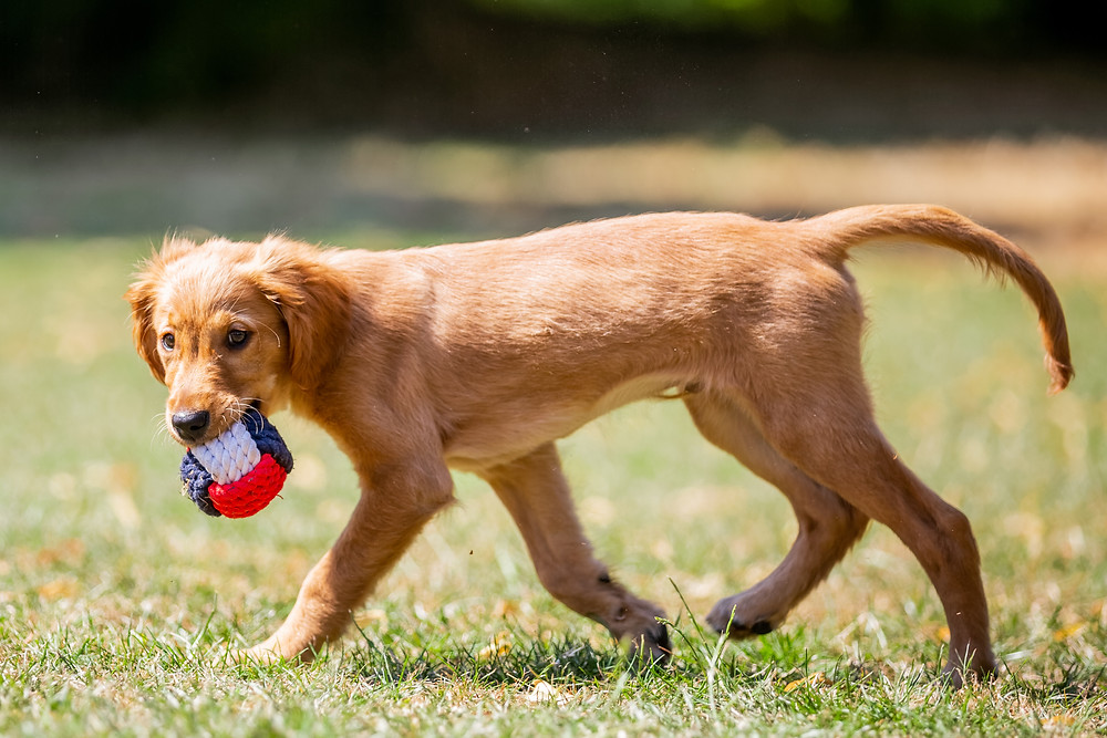 Dog Photography in London, puppy with his rope ball in Regents Park, London