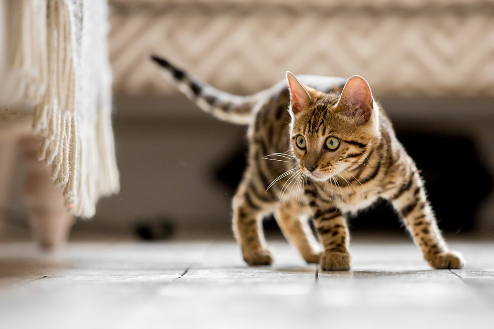 Cat photography in London. Bagheera the Bengal Kitten looking under a chair