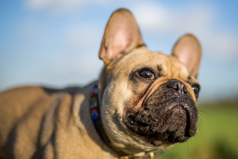 Dog photography in London. Bear the French Bulldog