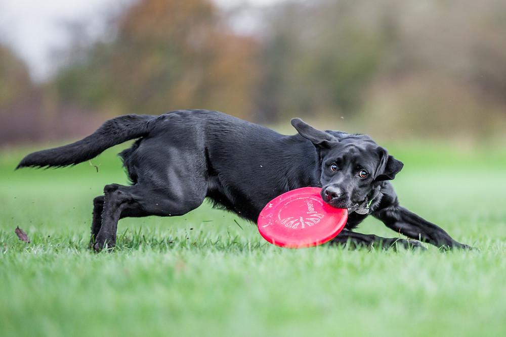 Dog photography in London. Logi the labrador catching a frisbee.