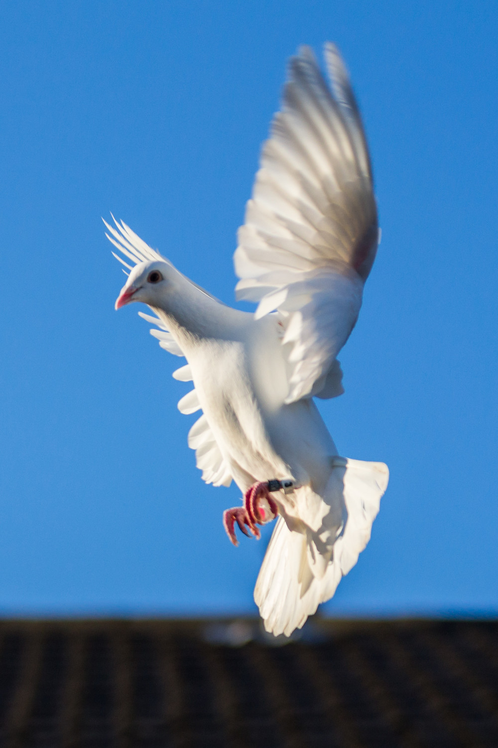 Animal photography in the UK. White dove in flight