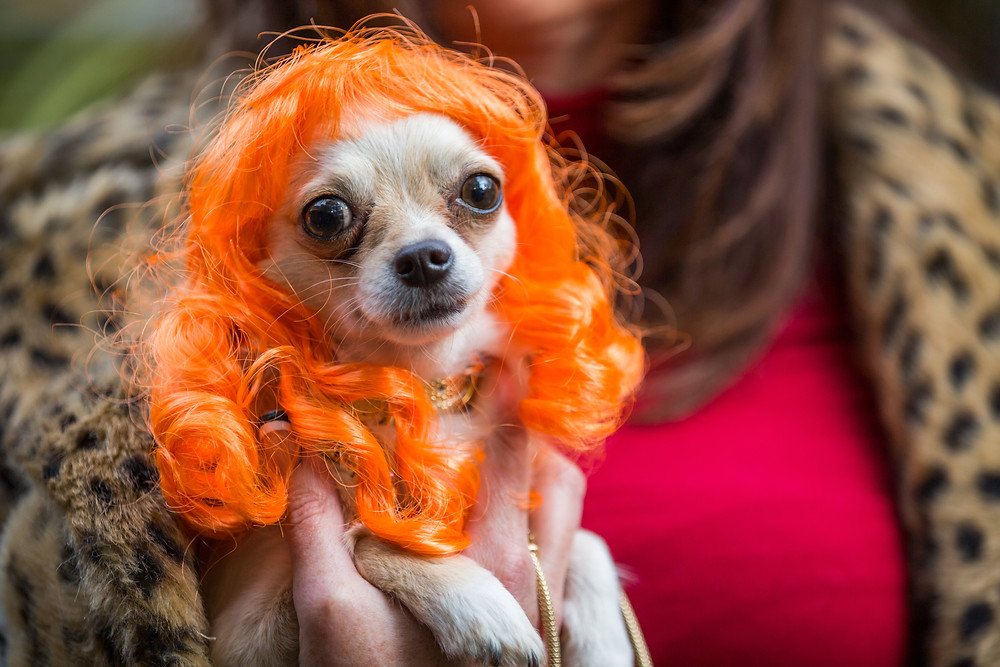 Dog photography in London. All Dogs Matter Halloween Charity Event. Dog in fancy dress
