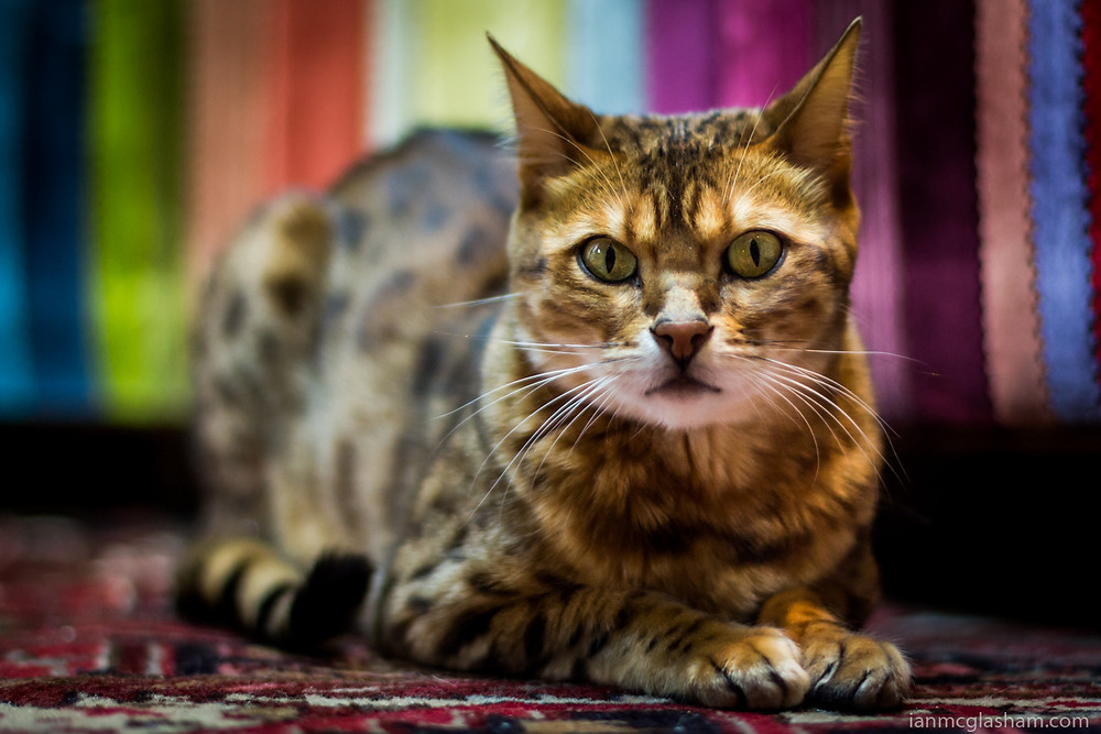 Cat photography in London. Conan the Bengal cat staring at the camera