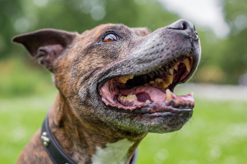 Dog photography in London. Staffordshire bull terrier, Buster smiling
