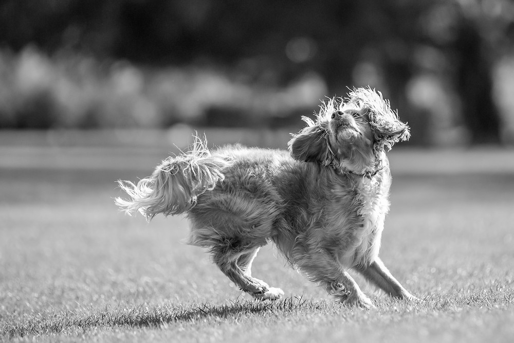 Dog photography in London. Parker tracking his ball