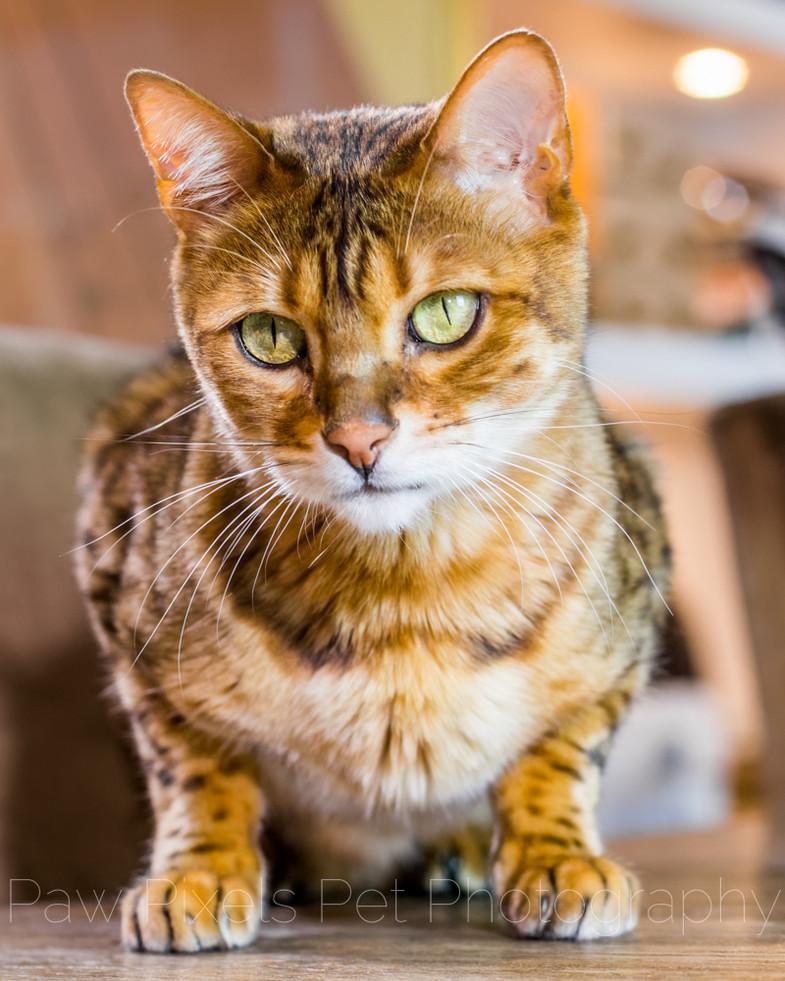 Conan The Bengal cat