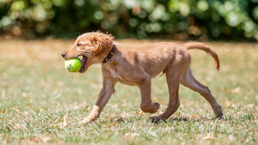 Dog Photography in London, puppy walking with a ball in Regents Park, London