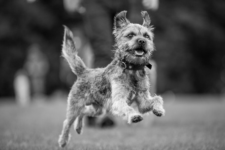 Monty - Border Terrier - London