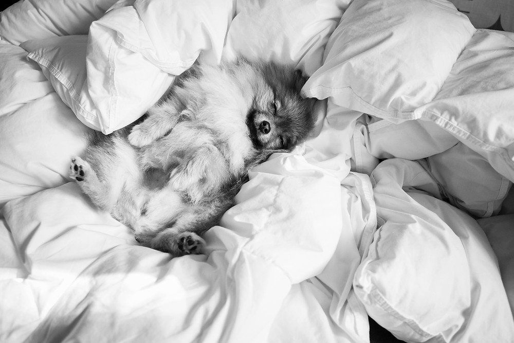 Pet photography in Cape Town. Soco the pomeranian in bed