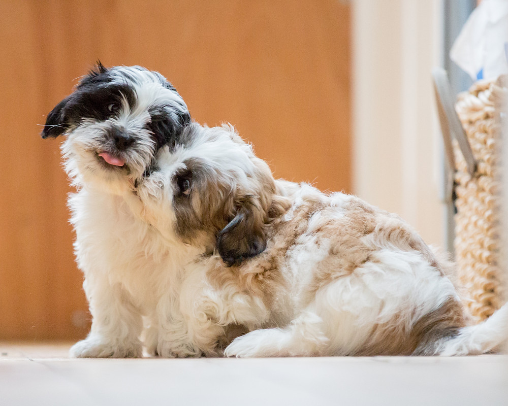 Dog photography in London. Lhaso Apso puppies