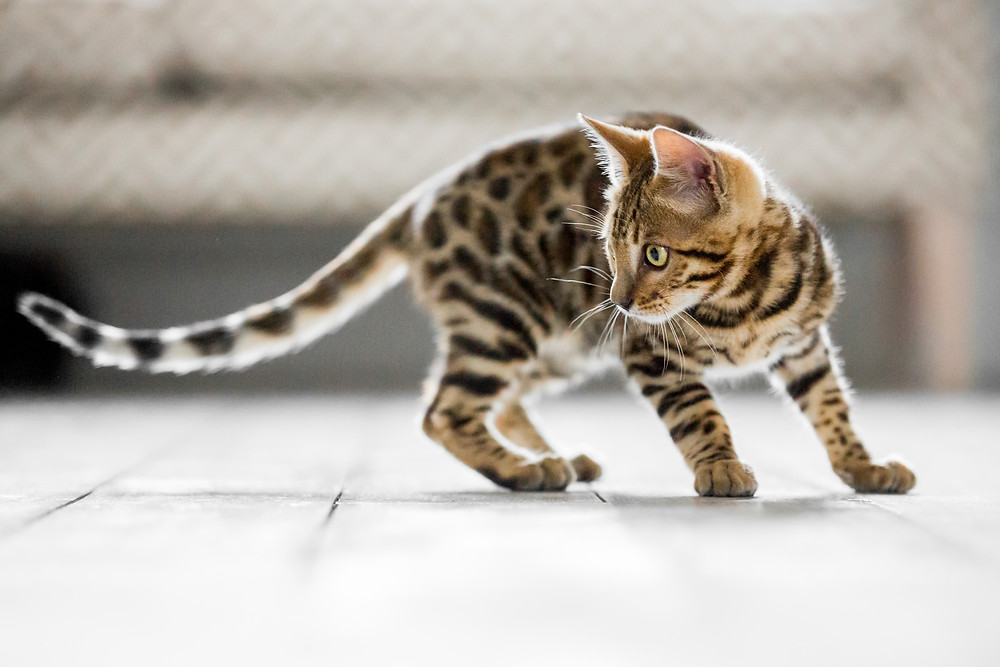 Cat photography in London. Bagheera the Bengal cat