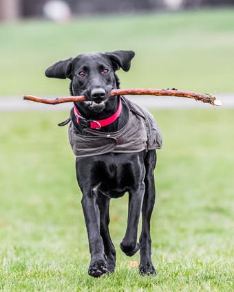Bugsy the Spaniel Labrador cross