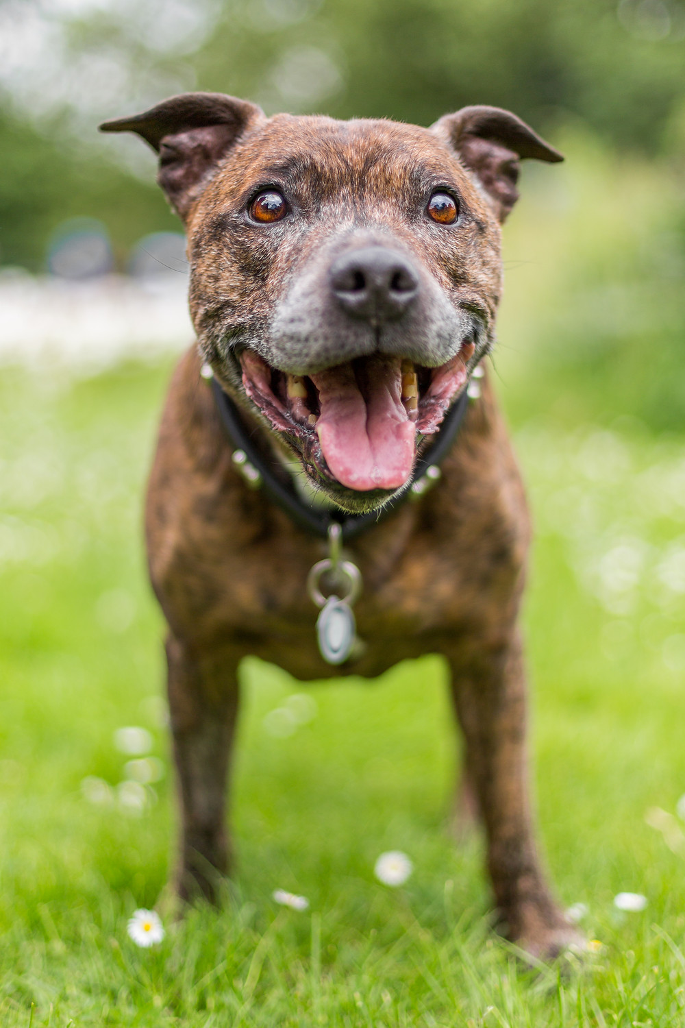 Dog photography in London. Staffordshire bull terrier, Buster full portrait