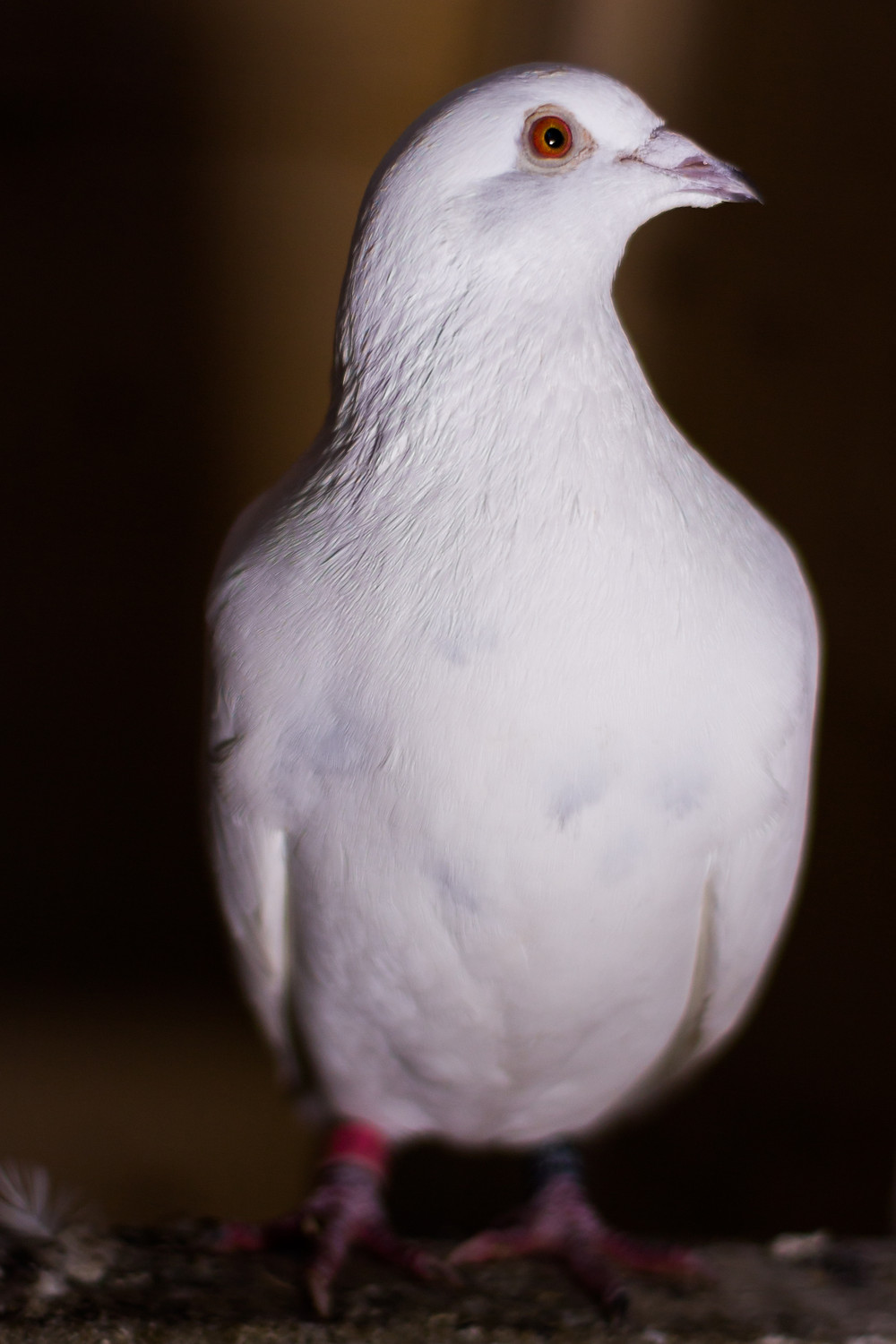 Animal photography in the UK. White dove