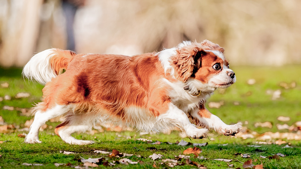 Animal Photography in London, Tiffany the King Charles Spaniel running through West Ham Park, Plaistow, East London