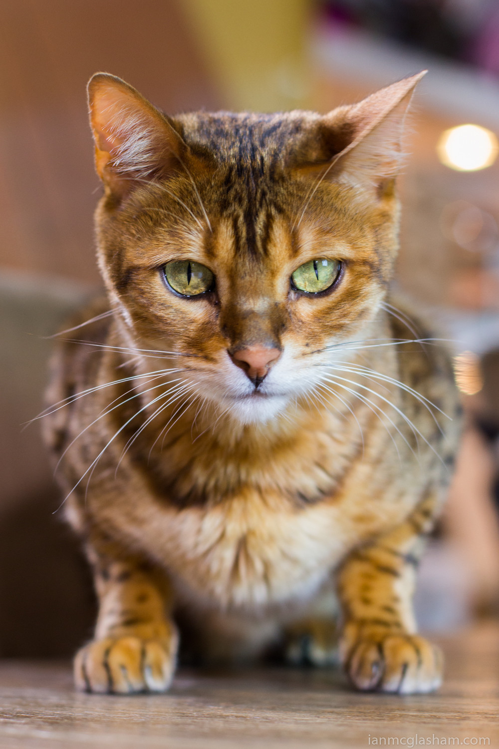 Cat photography in London. Conan the Bengal cat.
