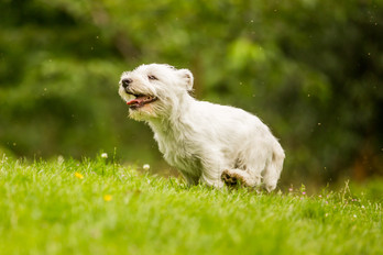 Hector - West Highland Terrier - London