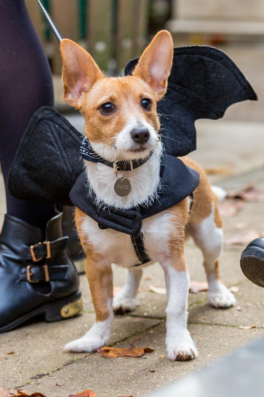 Dog photography in London. All Dogs Matter Halloween Charity Event. Batdog