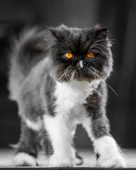 Sebastian - Persian cat - London
