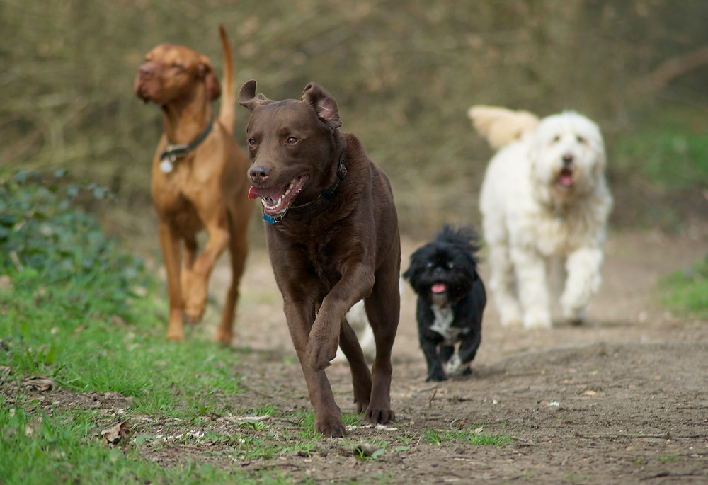Dog photography in Oxford. A pack of dogs